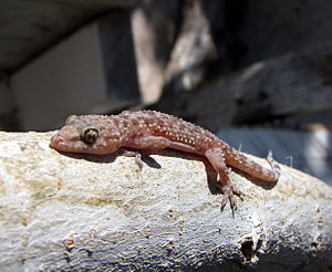 Image of a Mediterranean house gecko taking a ...